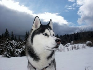 A husky dog descended from a wolf